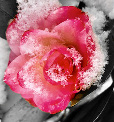 """""""The philosophers have only interpreted the world, in various ways. The point, however, is to change it."""" ―Karl Marx ❄️ 🌹 ❄️ (anokarina) Tags: 🌹 pink red appleiphone8 parkview winter storm toby blizzard snow stronghold flowers blossoms blooms spring forttotten pleasanthill varnum ice globalwarming climatechange sciencematters adobephotoshopexpress psmobile colorsplash ⛄️ ☃️ ❄️ queenrose"""