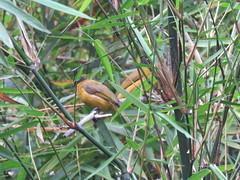 Pycnonotus flaviventris (dhobern) Tags: 2018 china march xtbg xishuangbanna yunnan aves passeriformes pycnonotidae pycnonotusflaviventris