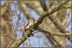 _DSC0191_Pic épeiche (patounet53) Tags: dendrocoposmajor greatspottedwoodpecker picépeiche picidés piciformes bird oiseau
