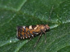 Glyphipterix bergstraesserella (Cossus) Tags: glyphipterigidae glyphipteriginae glyphipterix пестово 2009