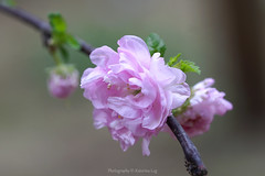In this life we are going to be disappointed. We will hurt. But there is a great joy in the shadow if you know where to look... (@Katerina Log) Tags: katerinalog nature natura depthoffield bokeh blossom flower foliage plant tree outdoor sonyilce6500 105mmf28 macro closeup pink