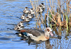 Wait for us Mum. (pstone646) Tags: geese goslings family birds lake nature babies wildlife animals wildfowl waterfowl reflections kent egyptiangeese fauna