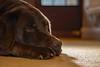 Katie resting (alanjcover) Tags: nikon nikon60mmmacro nikonsb910 nissindi866 labrador chocolatelabrador