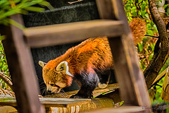 Red panda (Theresa Hall (teniche)) Tags: 100400mmlens 2018 600mllens australia canberra canon canon6d canon6dmk2 canoncollective march2018 nationalzooandaquarium teniche theresahall animals canon6dmarkii creatures cute enclosed enclosure preciouscreatures zoo