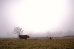 Lost (peeteninge) Tags: lost scottishhighlander highlandcow dunes landscape nature mist fog animal wildlife duinen schotsehooglander verloren landschap natuur fujifilmxt2 fujifilm xf80mmf28