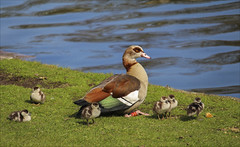 Ouettes de Pâques (269/365) (chando*) Tags: 365 bird brussels bruxelles canetons ducklings egyptiangoose oiseau ouettedegypte parcléopold project365 exploredmarch272018292