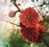 Japanese apricot (Prunus mume) (gomosh2) Tags: prunusmume spring redflowers japaneseapricot
