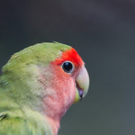 Rosy-faced lovebird, Agapornis roseicollis, young parrot in the nature