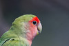 Rosy-faced lovebird, Agapornis roseicollis, young parrot in the nature (Nemanja Zotovic PHOTOGRAPHY) Tags: twig avian wing cute wood head lovebird photography wildlife stick exotic wild bright jungle colorful female habitat eyes horizontal male bough animal environment birds tail ecology green birdwatching forests background portrait perched nature beautiful feather beak peachfacedlovebird closeup rosyfaced agapornisroseicollis outdoor asia color posing birdportrait spacefortext namibdesert psittaciformes psittaculidae rosycollared