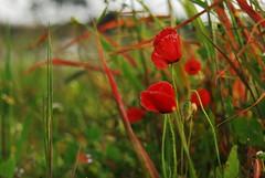Poppy stems (Lenaprof) Tags: 7daysofshooting week35 straightandnarrow colourfulthursday 7dwfflora