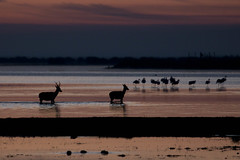 Doñana salvaje (ramosblancor) Tags: naturaleza nature animales wildlife paisaje landscape ciervo reddeer cervuselaphus aves birds flamenco flamingo color amanecer dawn marisma marshes doñana andalucía españa spain