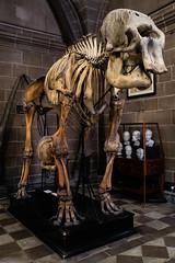 Anatomical Museum, Edinburgh (p.mathias) Tags: anatomy edinburgh museum skeleton history unitedkingdom uk europe animal bones bone universityofedinburgh university skeletal display specimens specimen sony a5100 csc scotland