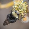 Criorhina sp 20180318_1562 (GORGEous nature) Tags: criorhina diptera insects klickitatco swalecreek wahkiacus washington mimic mimicry unknown water march ©johndavis