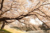 Bough (Teruhide Tomori) Tags: kyoto riverside kamoriver japon japan flower sakura cherry spring nature landscape 京都 鴨川 春 桜 日本 花 風景