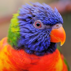 Hello (peeteninge) Tags: portrait animal bird animals birds colorful blue red lori vogel portret vogels kleurrijk blauw rood dieren natuur nature fujifilmxt2 fujifilm xf80mmf28