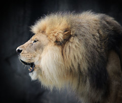Kenya's Roar (Southern Darlin') Tags: lion king wild wildlife mane panthera leo feline canon photography