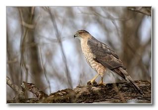 103A8448-3-DL   Épervier de Cooper / Cooper's Hawk