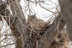 Female Great Horned Owl sitting on her nest