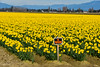 Skagit Valley Daffodils (SonjaPetersonPh♡tography) Tags: laconner mtvernon mountvernon laconnerdaffodilfestival festival skagitvalley skagitcounty washington washingtonstate washingtonmountvernon stateofwashington nikon nikond5300 flowers daffodils plants scenic scenery landscape farms