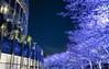 Blue cherry tree (sapphire_rouge) Tags: sakura tokyomidtown 夜景 六本木ミッドタウン midtown roppongi cherryblossom tokyo