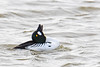 Common goldeneye 2018-04-07_03 (Jan Thomas Landgren) Tags: birds bird djur duck ducks aves animal animals avifauna fåglar fågel fauna änder getterön getterönnaturereserve halland sverige sweden nikon nikond500 tamron tamron150600mm nature natur wildlife wetlands wetland outdoor divingduck bucephalaclangula goldeneye commongoldeneye knipa