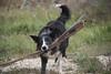 No quiero no... (JoseARuiperez) Tags: border collie blue merle perro dog nikon d750