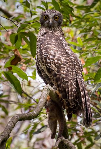 Powerful Owl with prey, Devlin creek, Epping