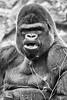 Dos argenté /Silver back (http://www.jeromlphotos.fr) Tags: dosargenté silverback gorille gorilla zoo de bauval noirblanc blackwhite canon eos 5dmarkii 28300 tamron face visage portrait