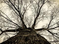 Awaiting Spring (RansomedNBlood) Tags: iphone8 tree silverefexpro2 bw blackwhite wv westvirginia