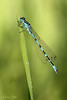 Ornate Bluet / Vogel-Azurjungfer (Coenagrion ornatum) (Chris Kex) Tags: odonata odonate libelle libellen zygoptera coenagrionidae coenagrion ornatum kleinlibelle kleinlibellen schlanklibelle schlanklibellen vogelazurjungfer ornate bluet damselfly damselflies damsel tandem ca deutschland female weibchen paarungsrad paarung copula matingwheel mating gewässer germany insect insekt imago schilf azurjungfer azure makrofotografie macro männchen male makro nature naturfotografie natur pond perch paar pair ditch graben bach wiese gras grass see teich tier animal water wasser wildlife waters