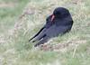 Chough (Andy Davis Photography) Tags: pyrrhocoraxpyrrhocorax brangoesgoch chough corvid coast hillside grass canon
