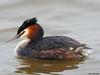 Great crested Grebe (Corine Bliek) Tags: podicepscristatus vogel vogels bird birds nature natuur wildlife water waterbirds watervogels meer lake
