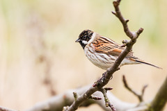 Look to the left! (DavidHowarthUK) Tags: oldmoor southyorkshire rspb march 2018 reedbunting emberizaschoeniclus