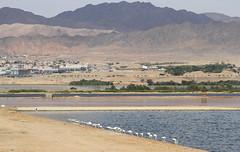 Aqaba Bird Observatory (Wild Chroma) Tags: jordan aqaba eilat flamingos aqababirdobservatory mountains bird observatory birds nonpasserines phoenicopterus roseus phoenicopterusroseus