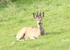 Roe Buck resting - Ham Hill (glostopcat) Tags: roebuck roedeer deer buck animal mammal wildlife april glos