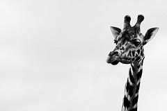 Trapped In The Freedom Of Thoughts (Ronny Darko) Tags: giraffe contrast black white sadness emptiness freedom autumn fall animal zoo portrait nature contemplating thoughts dark fota wildlife ireland himmel tier minimalist minimalism schwarz weiss kontrast traurig herbst minimalismus leere nachdenklich wild park irland freiheit tierpark