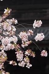 Sakura@Toji Temple (kkanok403) Tags: sony ilce7m2 fe 2470mm f4 za oss sakura toji temple japan kyoto a7ii