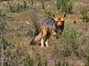 Fox (▶MacLeod◀) Tags: zorro fox zorroculpeo zorrocolorado lycalopexculpaeus parquenacionalbosquefrayjorge conaf ovalle limari coquimbo chile