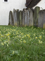 The first cowslips (badger_beard) Tags: churches conservation trust cct thecct redundant church st saint cambridge cambridgeshire cambs south village rural primroses cowslips duxford john johns headstones
