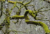 mossy branches (Stiller Beobachter) Tags: tree branch mossy
