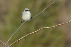 Shrike (NaturalLight) Tags: shrike chisholmcreekpark wichita kansas