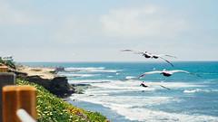 Flight (_jonchinn) Tags: san diego california travel business trip warm weather la jolla cove beach pacific ocean shore sea pelican seagulls brown flight waves