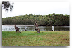 Kangaroos New South Wales South Coast Australia (Bear Dale) Tags: kangaroo australia lake kangaroos new south wales coast canon 5d mkii nature fotoworx bear dale beardale lakeconjola shoalhaven southcoast framed faune faunasilvestre photo photograph groups group flickr naturephotography