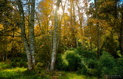 Bosque otoñal - Las Quemas (Patagonia Chile) (Noelegroj (Celebrating 9 Millions+views!)) Tags: chile patagonia otoño autumn season lasquemas colors colores paisaje landscape nature naturaleza arboles trees forest bosque woods pasto grass green verdor field campo countryside irix15mm