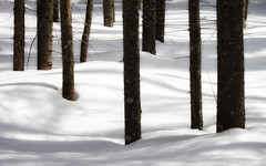 """For Art may err, but Nature cannot miss."" John Dryden (Canadapt) Tags: snow winter trees stand trunks shadows graphic keefer canadapt"
