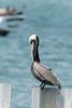 Pelecanus occidentalis (Brown Pelican) - Pelecanidae - Amador Causeway, Panama City, Panama (4) (Nature21290) Tags: amadorcauseway brownpelican panamacity pelecanidae pelecanus pelecanusoccidentalis