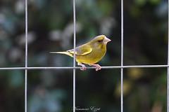 Verdier d'Europe (Chloris chloris) 19-04-2018 (3) (Ezzo33) Tags: france gironde nouvelleaquitaine bordeaux ezzo33 nammour ezzat sony rx10m3 parc jardin oiseau oiseaux bird birds verdier europe chloris specanimal