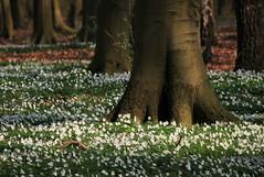 Ein Teppich aus Buschwindröschen (Petra Runge) Tags: buschwindröschen anemonen wald frühling wildblumen spring nature forest woodland wildflowers natur