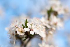 Sakura time again (BeSt Photography [Thank you for 2 million views]) Tags: sakura spring tranquility cherryblossom serene flowersplants outdoor awsome glow colorful kirschblueten