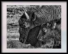 IMG_4160-Editheadcrop dfrwm (Visions by Vincent) Tags: blackwhite bison ngc nature yellowstone fantasticnature